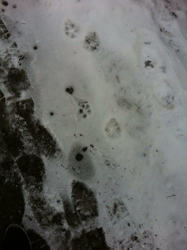 Snow and paw and bootprints