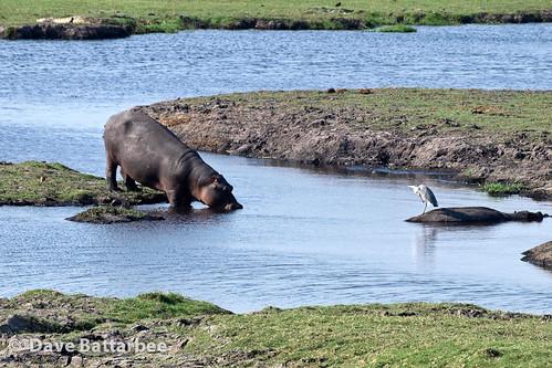 Hippos and a Heron