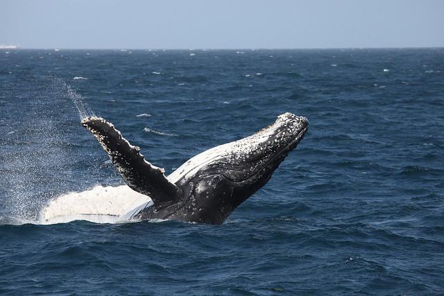 Whale breaching 4