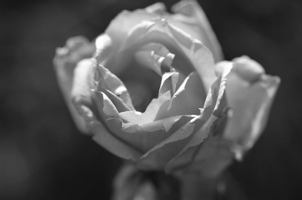 Rose B&W