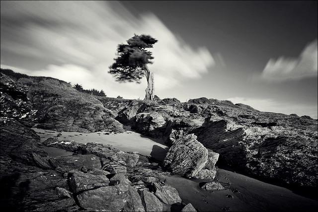 Le pin centenaire de la plage de Portmain