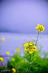 flower 3 @ Ranu Kumbolo