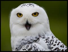Female snowy owl 7