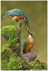Kingfishers by Jeroen Stel
