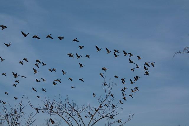 The geese fleeing us, 4