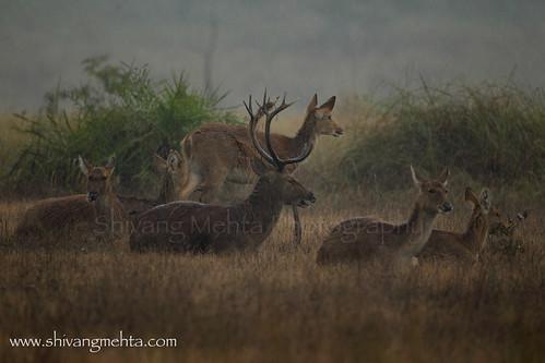 Swamp Deers