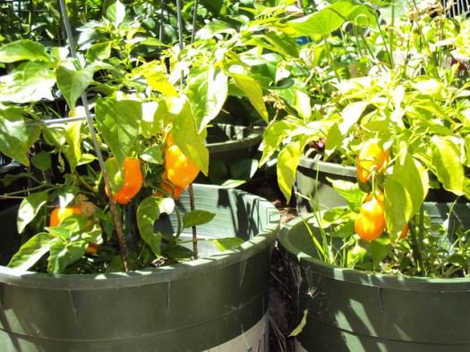 Habaneros In The Garden