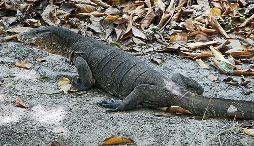 wild monitor lizard on Koh Roc