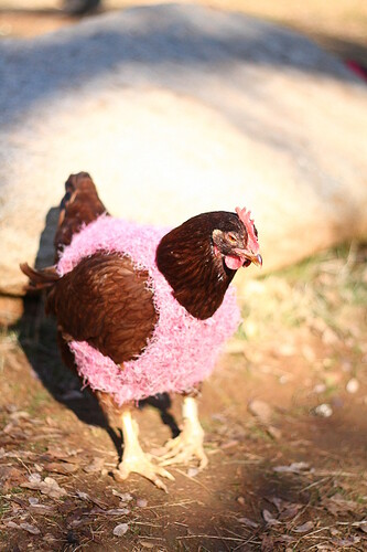 Big Red in a Chicken Sweater