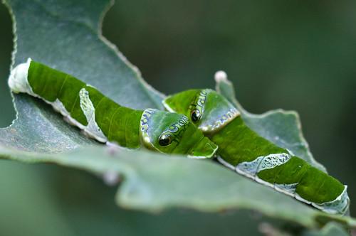 Papilio memnon heronus
