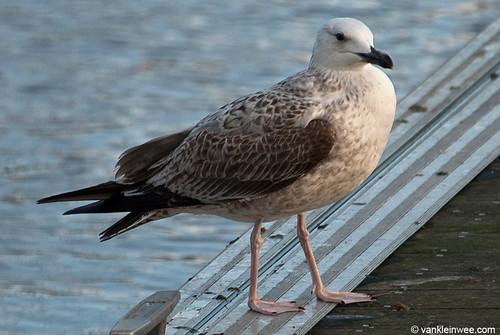 Caspian Gull, 1cy, Y[FF]