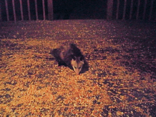Opossum on the porch gotta be in East Tennessee