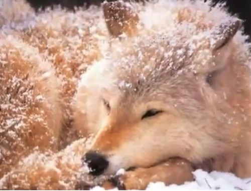 Happy Wolf Year on Vimeo by winter by JesToryAS