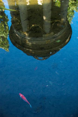 Goldfisch in der artesischen Quelle am Albertplatz