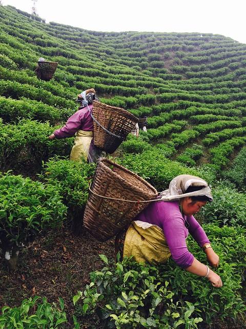 Будни сборщиков непальского чая