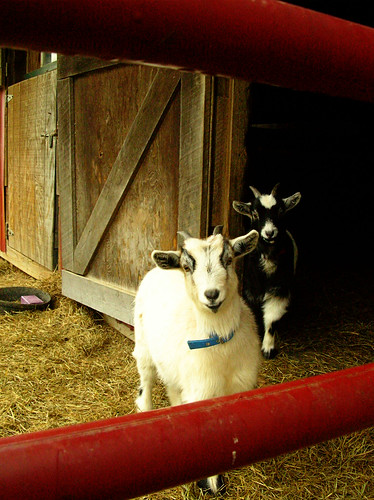 Chloe and Izzy, the new goats