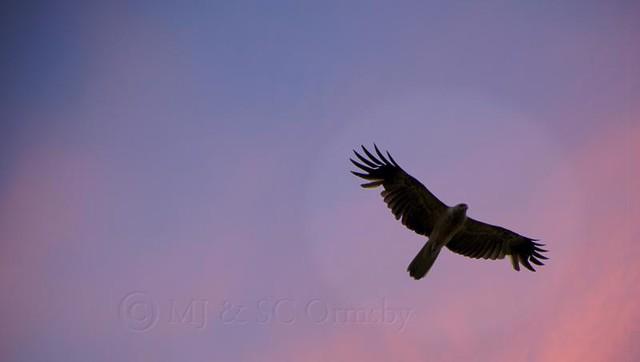 Kite in evening light