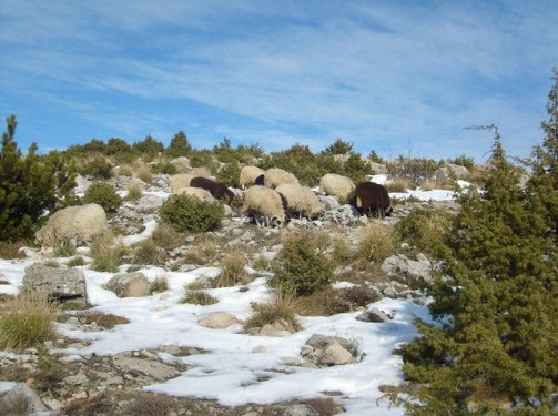 Sheeps on the top of Kruja mountain