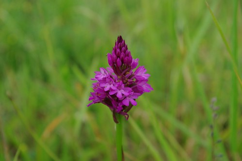 20110625-08_Pyramidal Orchid - Ryton Pools by gary.hadden