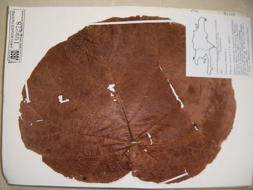 Coccoloba pubescens