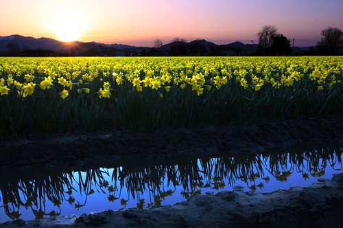 Early Spring Daffodils, Skagit Valley Tulip Festival, 2012 by i8seattle