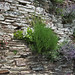 Plants growing out of slate walls.