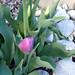 purple spring tulips
