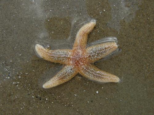 A tiny star fish