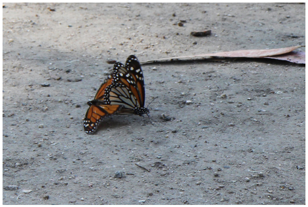 Coupling monarch butterflies in Pacific Grove