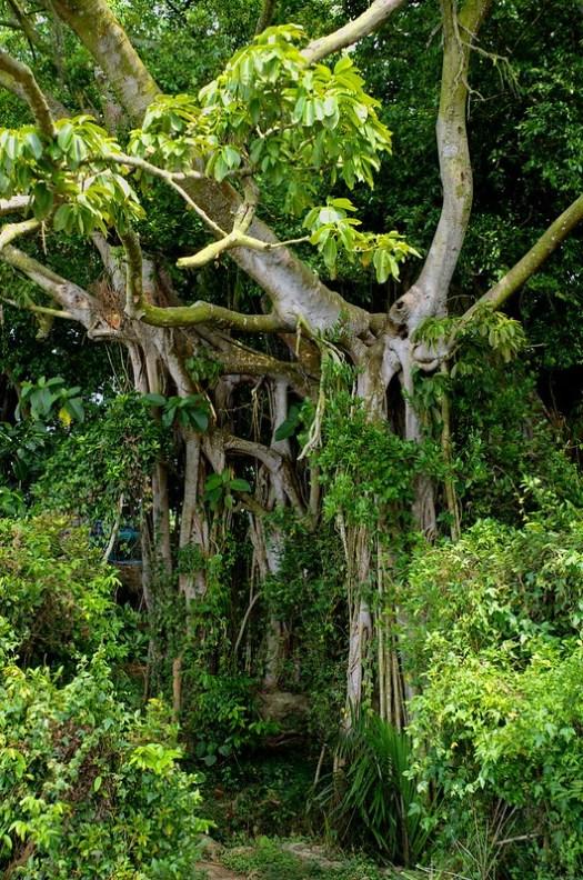 Banyan Tree, Shoushan, Taiwan