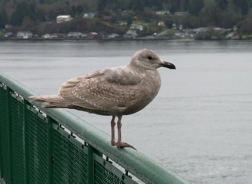 Glaucous-winged Gull (Larus glaucescens)