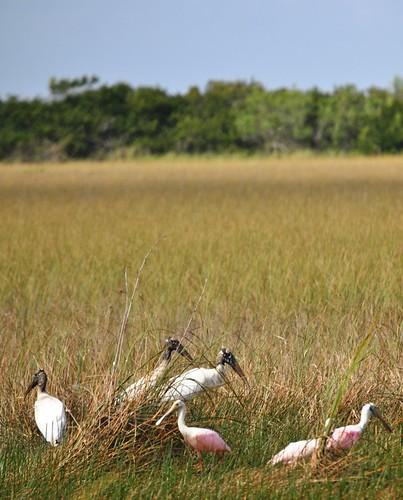 American Wood Storks and Roseatte Spoonbills in Shark Valley, Everglades National Park, Feb. 27, 2012