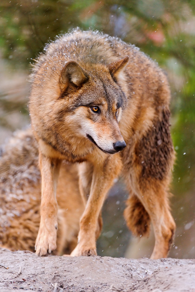 Wolf looking on the side  A picture of a standing wolf
