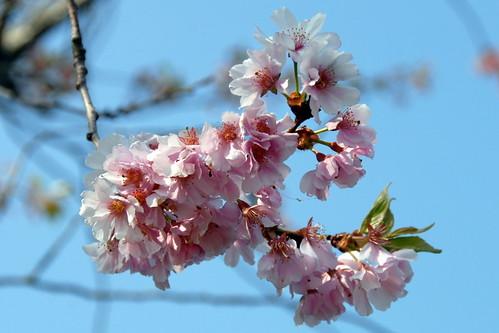 Arbres en fleurs HD-011