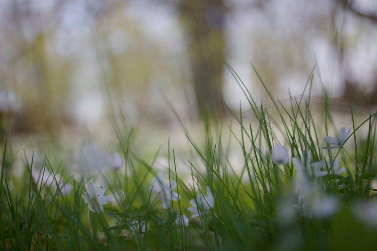 Anemone spring