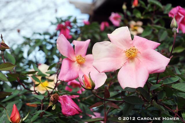 'Mutabilis' rose