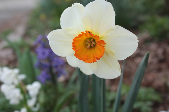 I love this daffodil's bright center