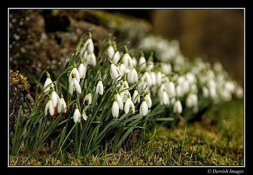 Snowdrops in Heptonstall by Dervish Images