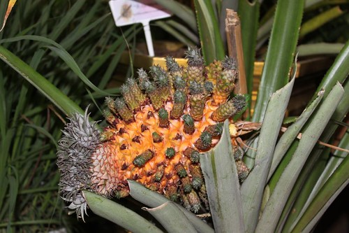 20120122_2416_sprouting-pineapple