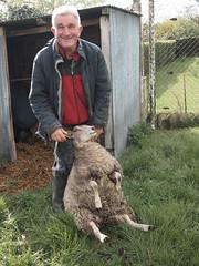 Bernard et le mouton