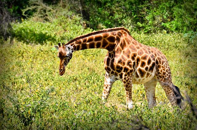 Giraffe Bend