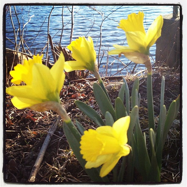 Daffodils in bloom.  #signsofspring
