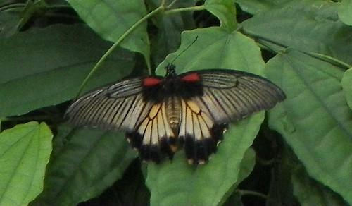 Great Mormon (Papilio memnon) female