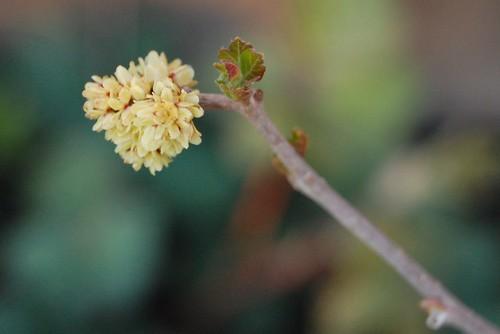 Rhus trilobata Flowers and new Leaf