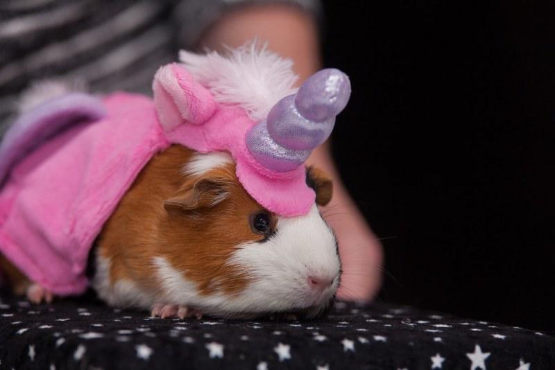 GUINEA PIG? Uh uh, I'm a unicorn!