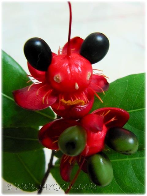 Ochna Kirkii Aka Mickey Mouse Plant Cool Right 2 3