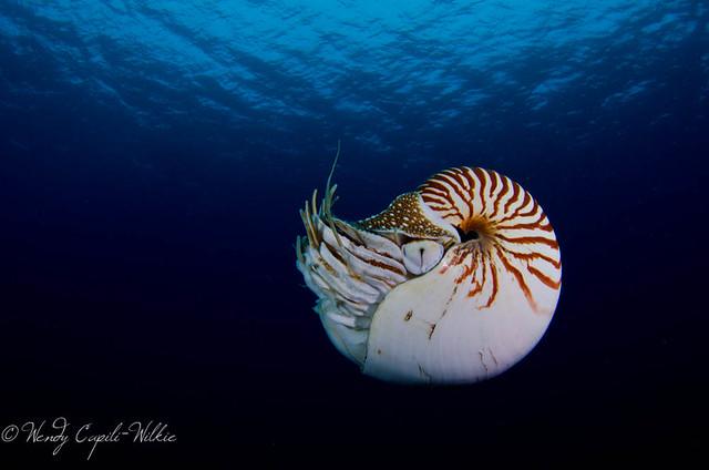 Nautilus at Short drop Off