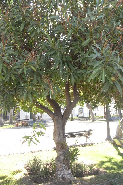 Una adelfa convertida en árbol.