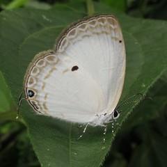 Common Ginger White - Oberonia punctatus