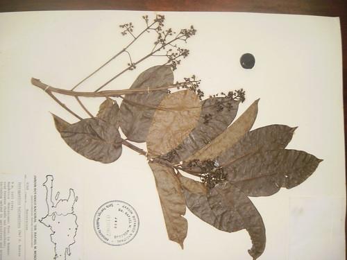 Tetragastris balsamifera